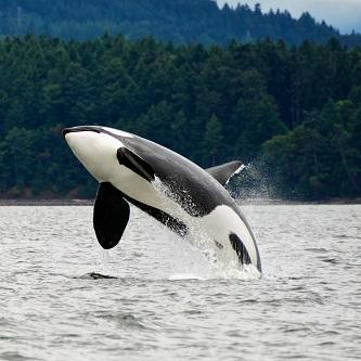 Whale Watching in Skagit County